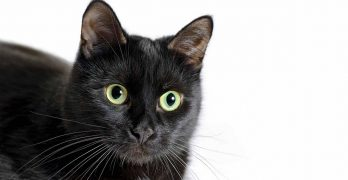 How Much Is A Bombay Cat? The Real Cost Of Buying A Bombay