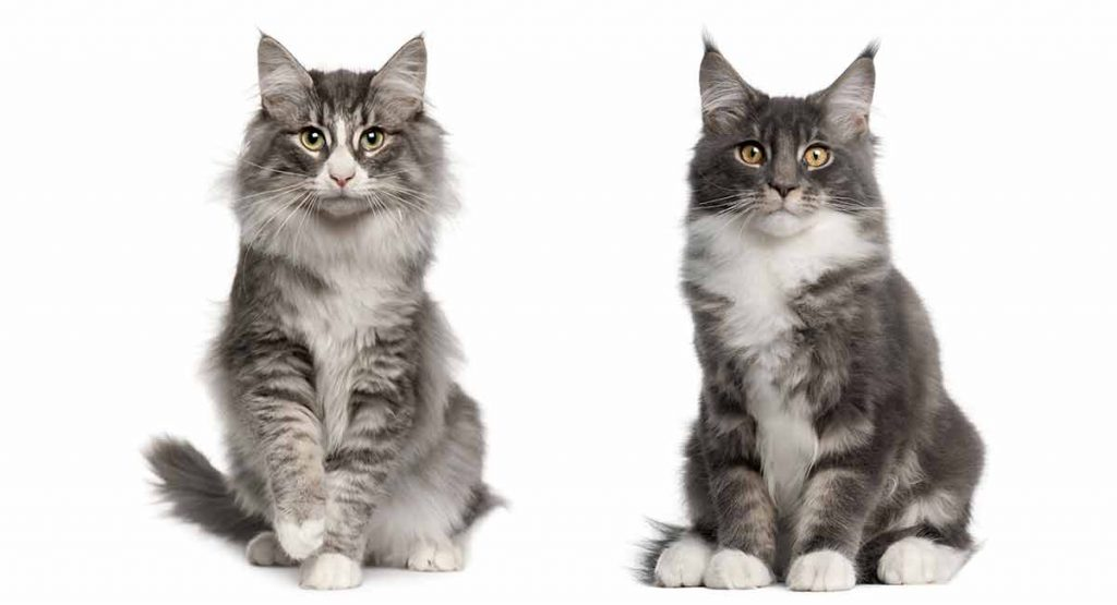 Maine Coon Norwegian Forest Cat Mix - A Killer Combination?