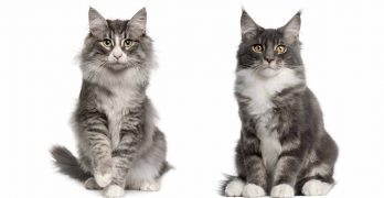 The Maine Coon Norwegian Forest Cat mix is a beautiful cat!