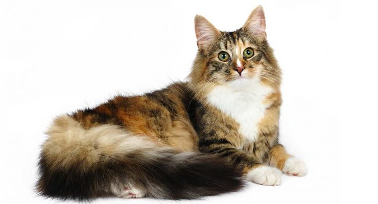 Norwegian Forest Cat Colors – An Amazing Array of Beautiful Shades