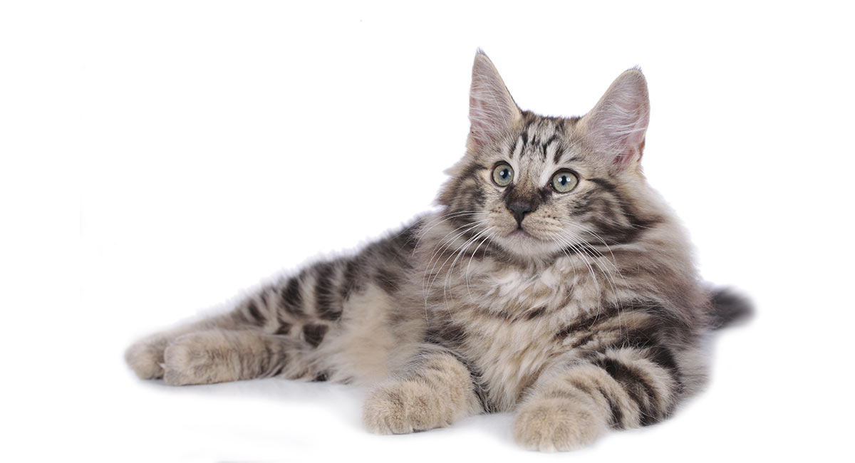 norwegian forest cat lifespan