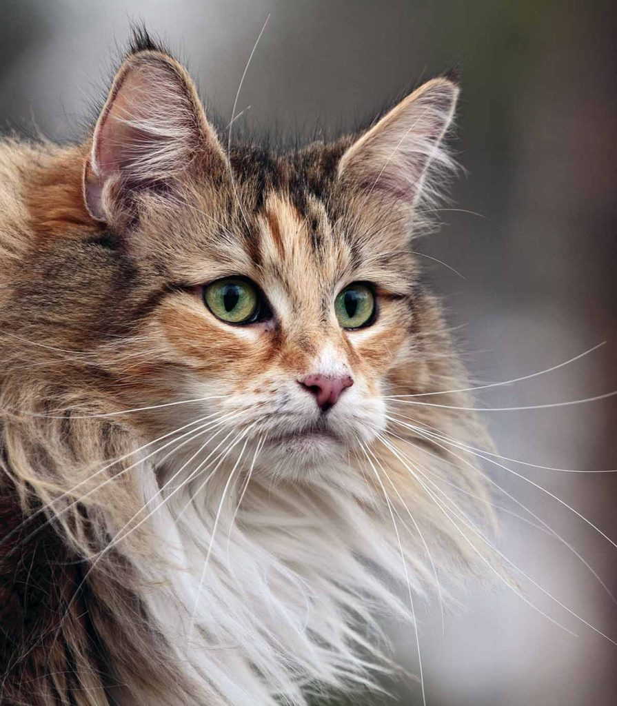 Norwegian Forest Cat Personality And Temperament