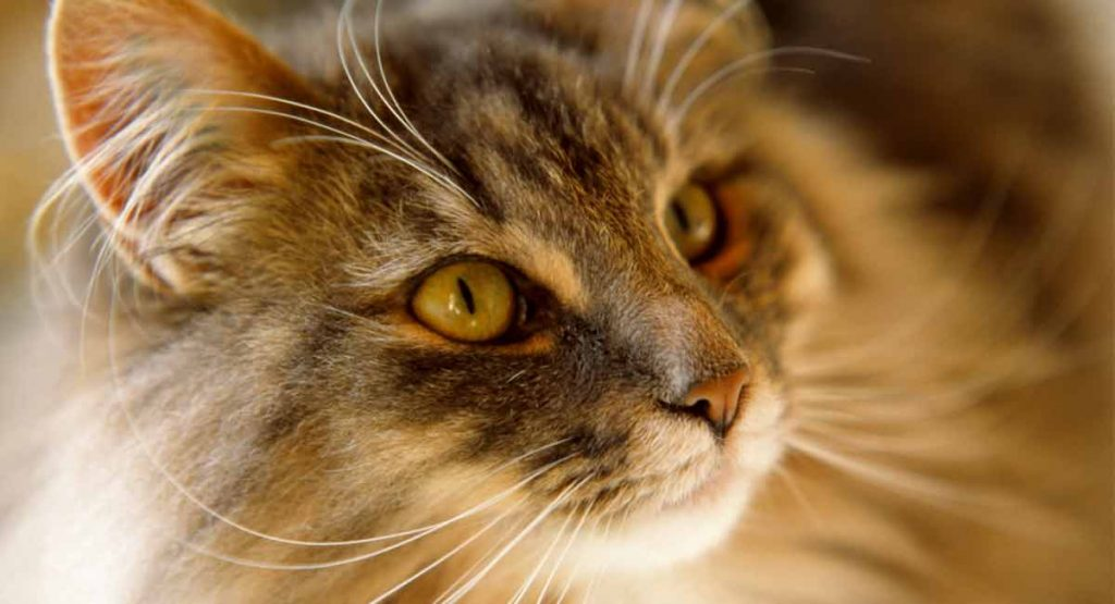What is the Norwegian Forest cat cost?
