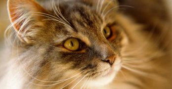 Norwegian Forest Cat Price – How Much Will Your New Kitty Cost?