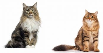 norwegian forest cat vs siberian cat