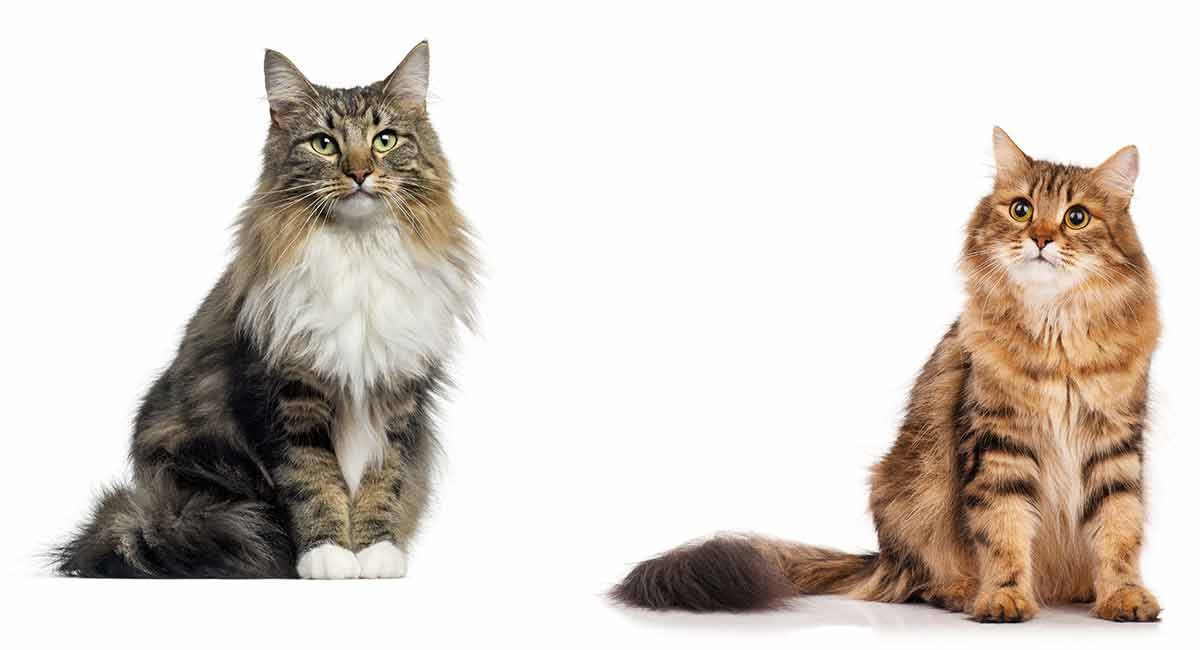 norwegian forest cat vs siberian cat which to bring home