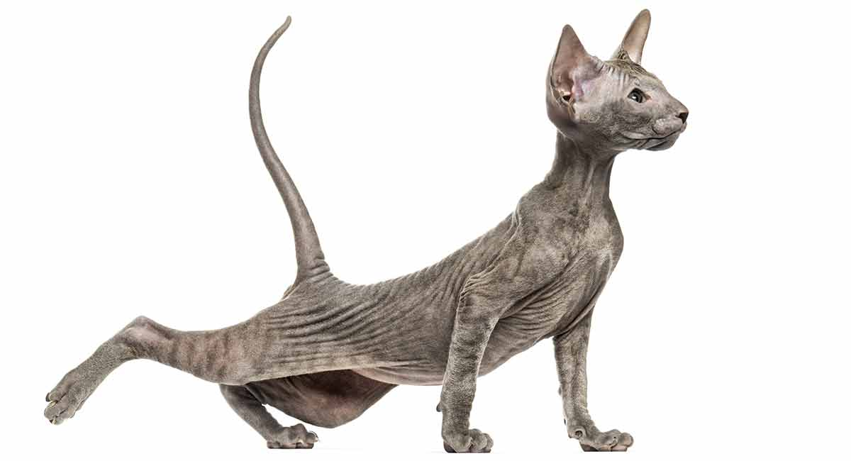 The Peterbald Cat Breed - A Cat Like No Other!