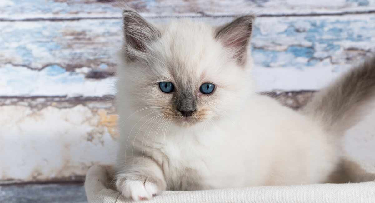Ragdoll Cat Colors - Recognizing and Predicting Ragdoll Coats