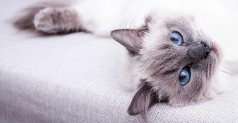 Best Toys For Ragdoll Cats
