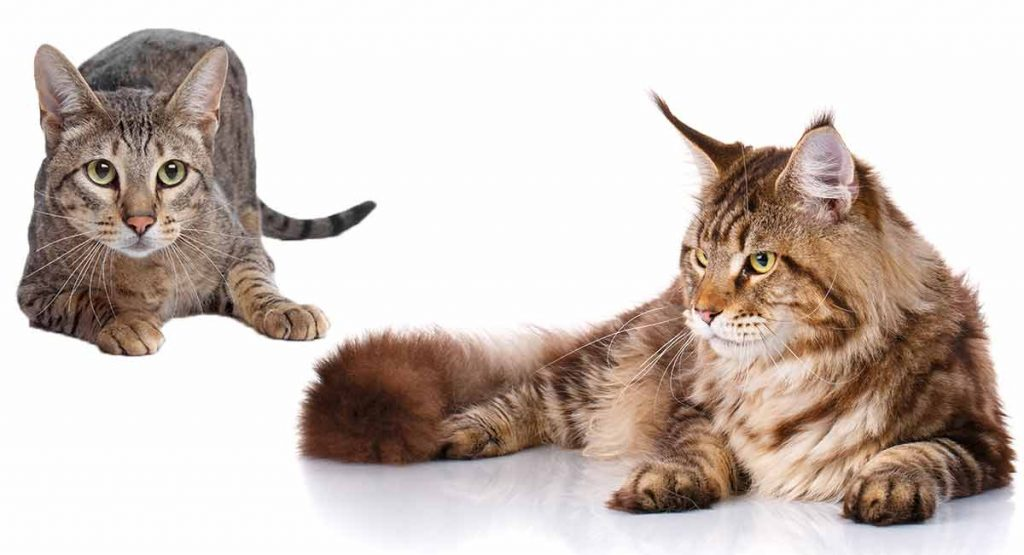 Savannah Cat Vs Maine Coon - What's The Difference?