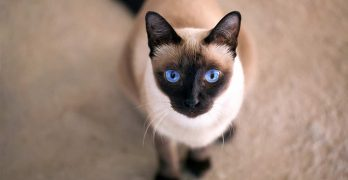 Seal Point Cat Breeds – The Amazing Markings and Shades