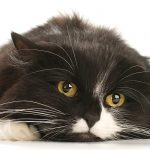 Upper Respiratory Infection in Cats – What You Need To Know
