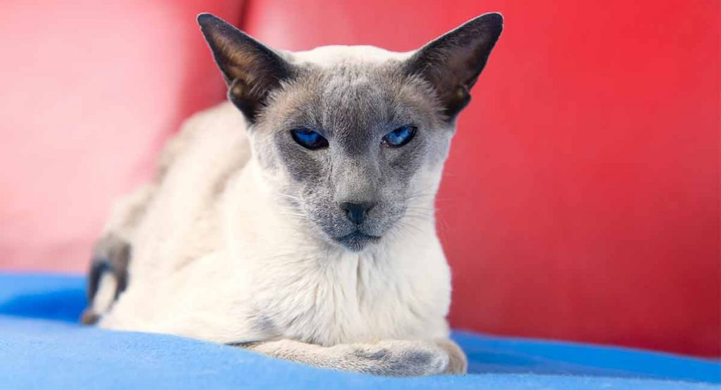 Wedge Head Siamese cat