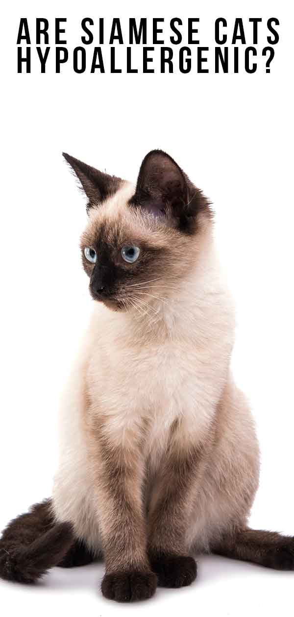 Are Siamese Cats Hypoallergenic? And How Much Do They Shed?