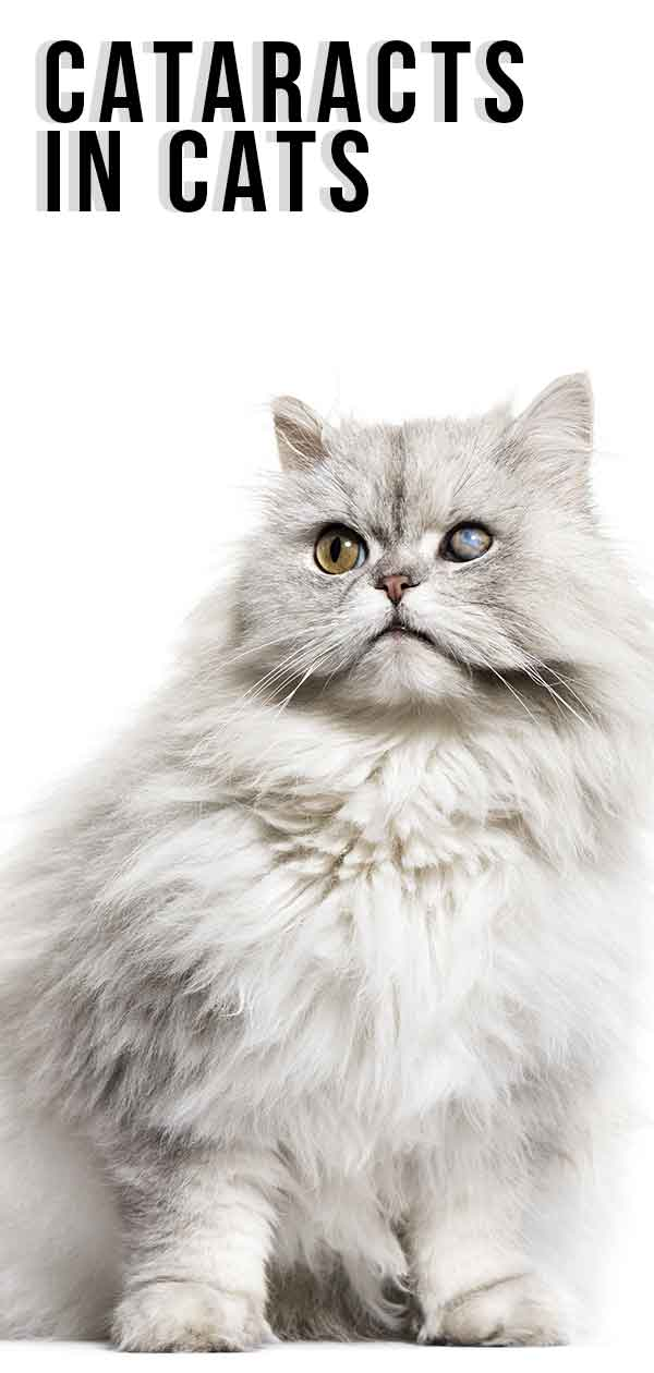 Cataracts In Cats - Causes, Diagnosis And Treatment.
