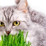 Cat Eating Grass – What Does It Mean And Why Do They Do It?
