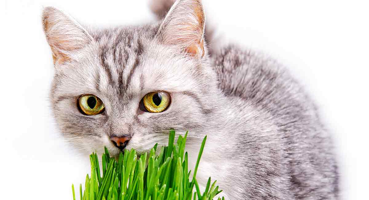Have you ever seen your cat eating grass?