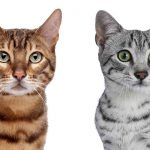 Egyptian Mau Vs Bengal Cats