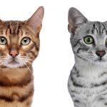Egyptian Mau Vs Bengal Cats