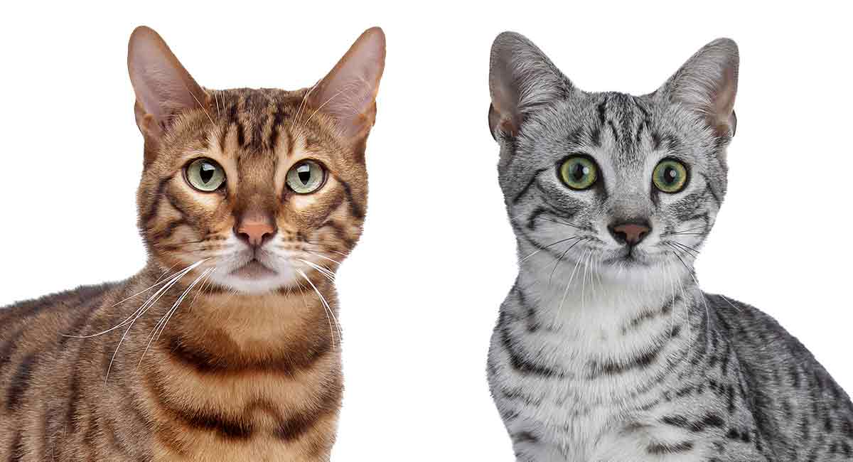 Have you considered the Egyptian Mau vs Bengal cat?