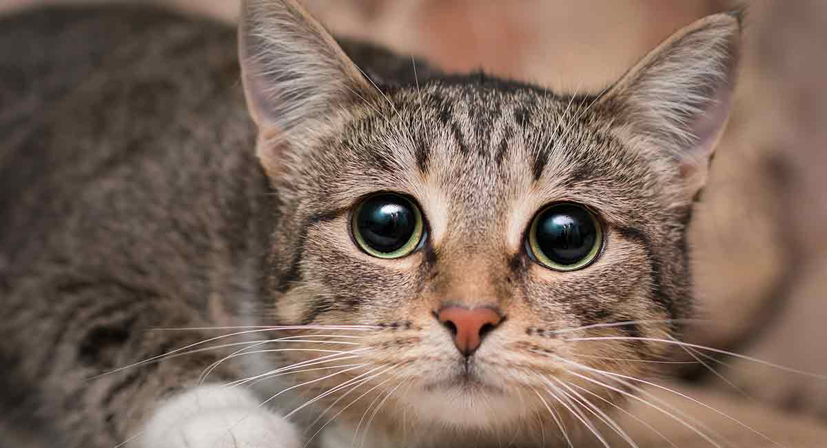 What are signs of kidney disease in cats?