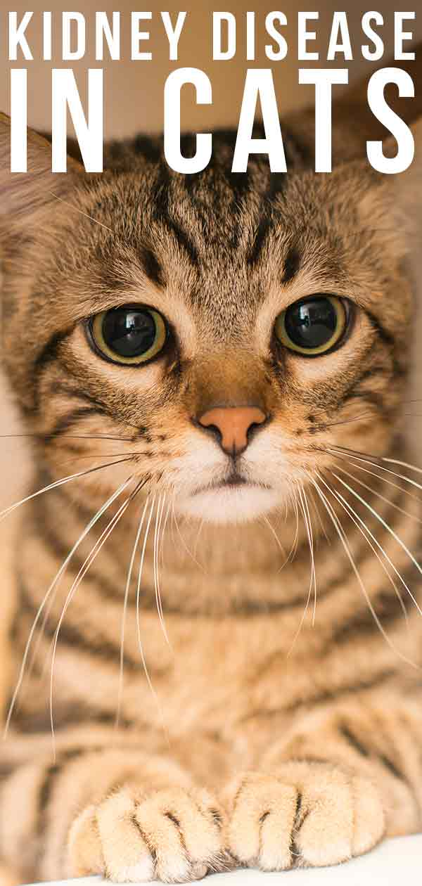 How can you treat kidney disease in cats?