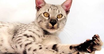 Savannah Cat Colors – The Amazing Shades of the Stunning Savannah