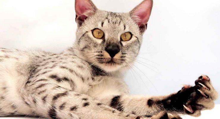 savannah cat colors