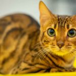 Savannah Cat Price – How Much Will This Cat Really Cost?