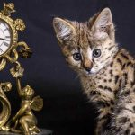 Savannah Kittens – Your Guide To Finding and Raising a Savannah Kitten