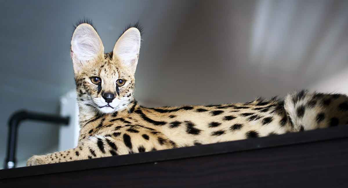 Where Do Savannah Cats Come From?