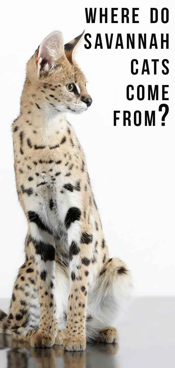 where do savannah cats come from