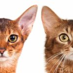 Abyssinian Cat Vs Somali Cat – Which One Is Right For You?