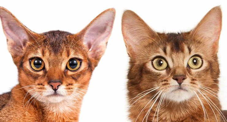 abyssinian cat vs somali cat