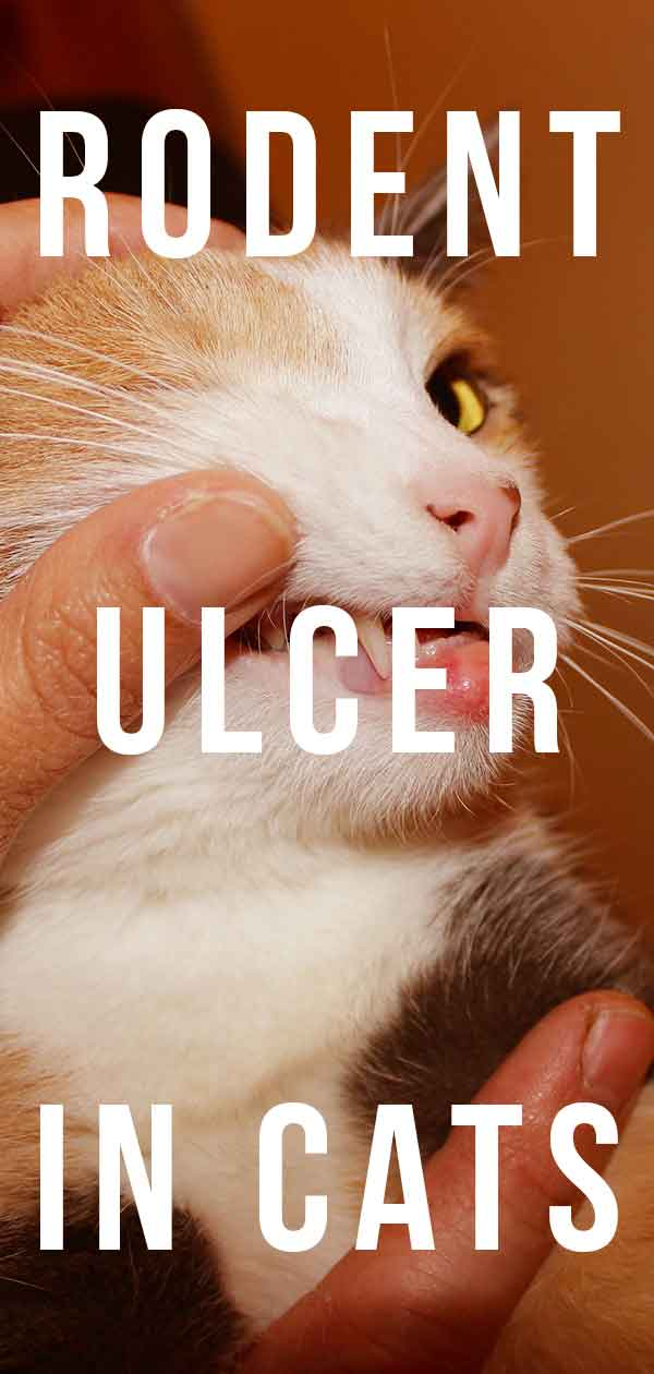 rodent ulcer cat