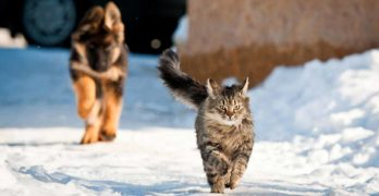 how fast can a cat run
