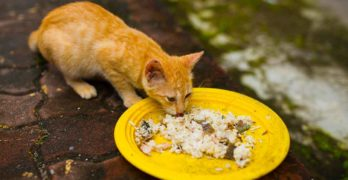Can Cats Eat Rice – From Boiled Rice Meals To Cat Food Fillers