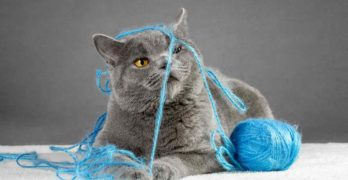 british blue cat names