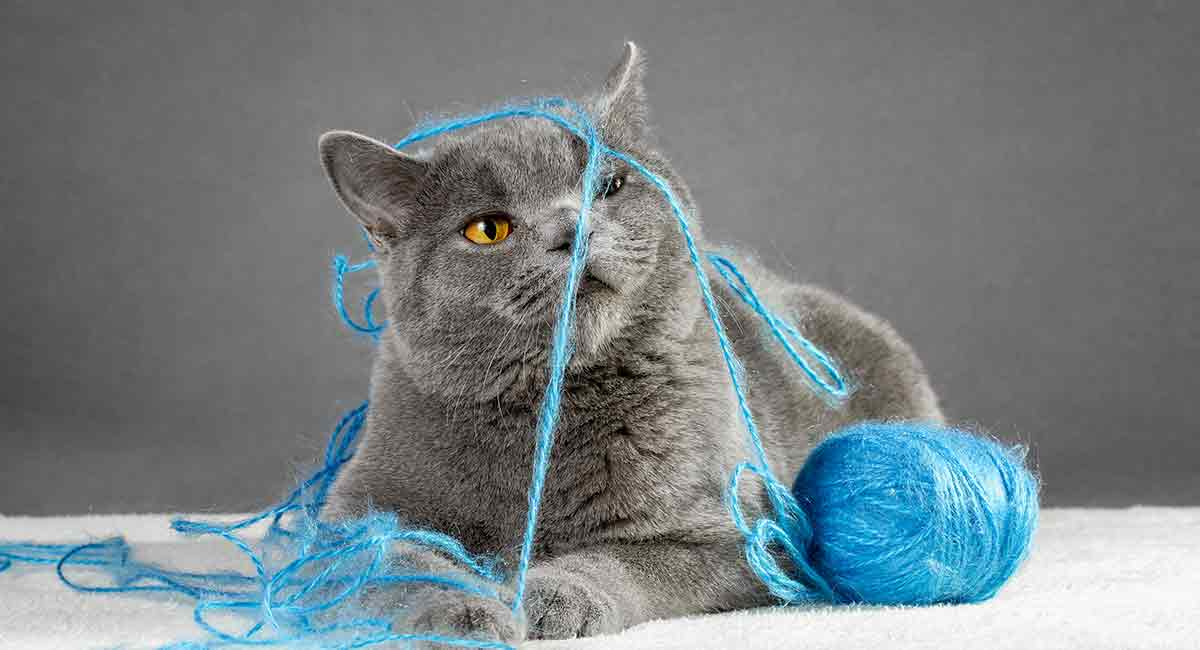 british blue cat names