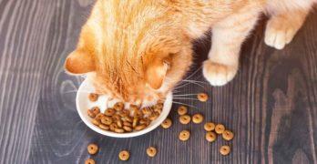 healthiest dry cat food