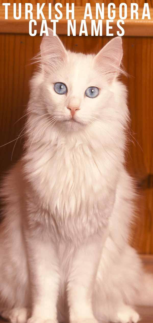 turkish angora cat names
