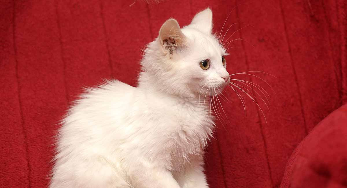 turkish angora cat names