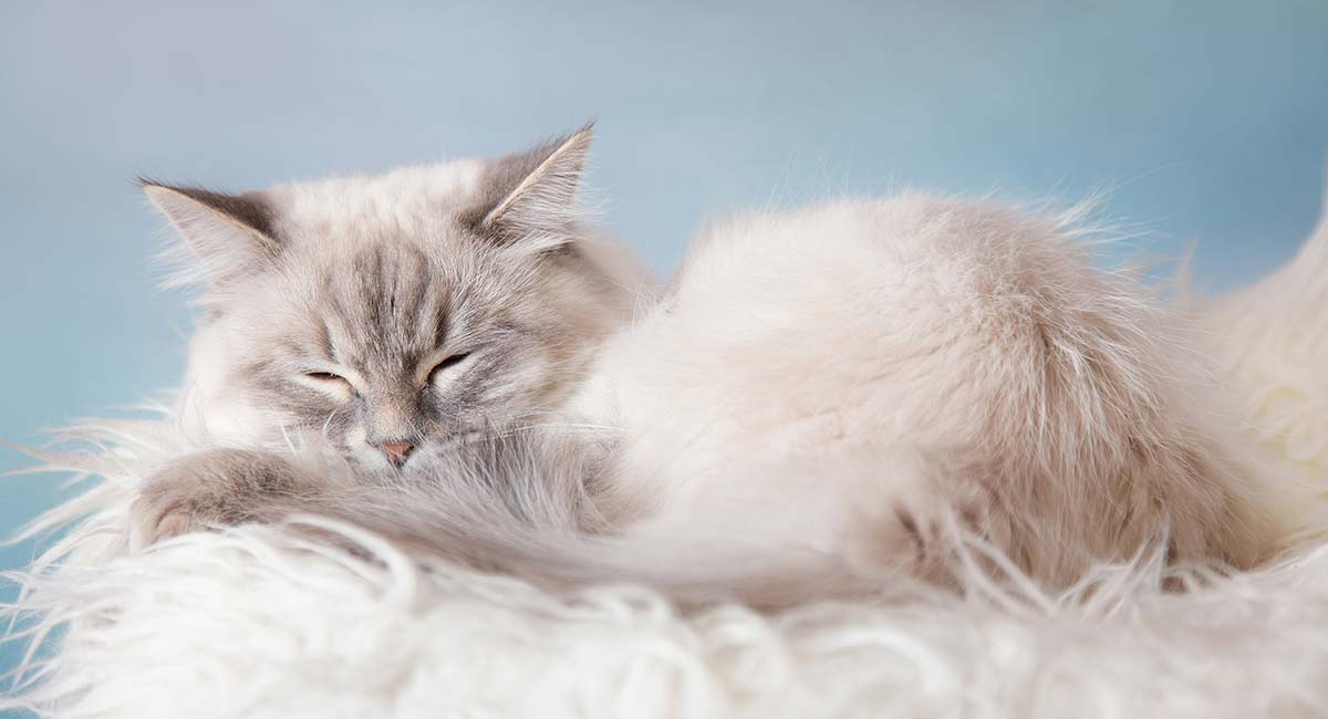 Doll Face Persian Cats A Healthier Choice For Owners