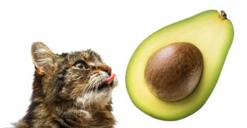 can cats eat avocados