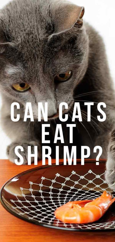 can cats eat shrimp