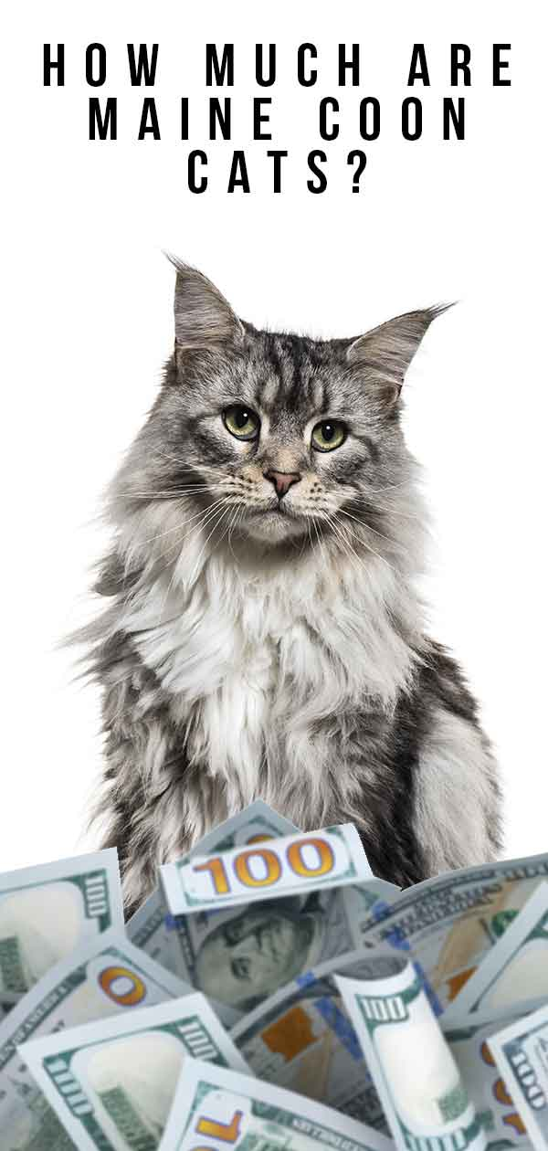 how much are maine coon cats