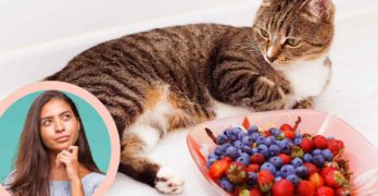 can cats eat blueberries