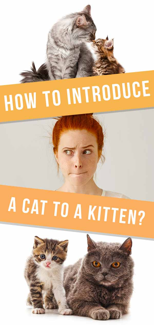 how to introduce a cat to a kitten