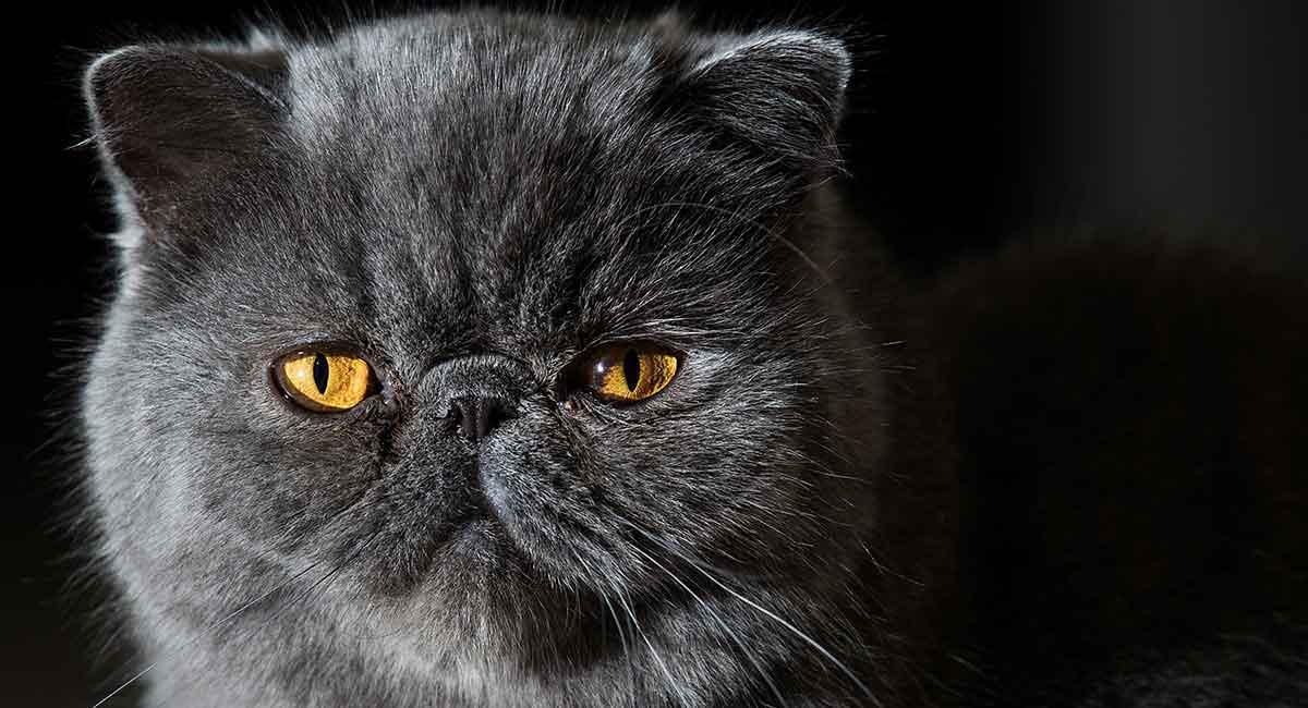 flat face cat