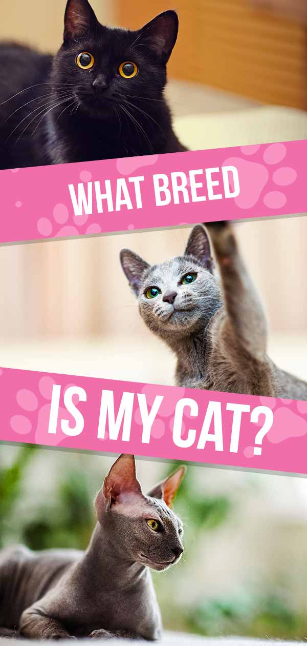 what breed is my cat